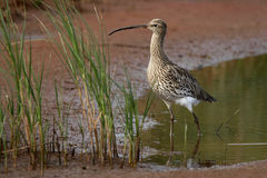 Curlew - Numenius arquata Royalty Free Stock Photos