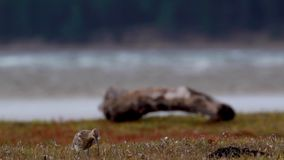 Curlew, Numenius, latanie, odprowadzenie i dzióbać na ujście trawy banku podczas chmurnego wietrznego dnia w jesieni, Scotland zbiory wideo