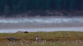 Curlew, Numenius, latanie, odprowadzenie i dzióbać na ujście trawy banku podczas chmurnego wietrznego dnia w jesieni, Scotland zbiory
