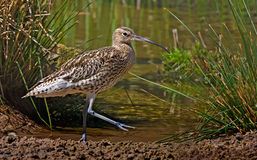 Curlew by the Pool. An adult Curlew walks beside a pool in Norfolk, England Stock Photos
