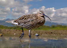 Curlew in the Pool. A male Curlew searching for food in a pool in Scotland Stock Photos