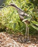 Curlew ptak Fotografia Royalty Free