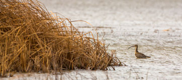 Curlew at a reed-bed Stock Photography