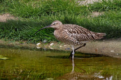 Curlew in the River. A female Curlew looking for food in a river in Norfolk, England Stock Image
