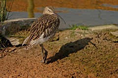 Curlew on the Riverbank. A Curlew heads for the river Royalty Free Stock Photo