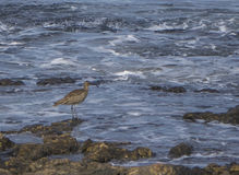 Curlew on a rock Royalty Free Stock Photos