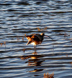 Curlew ruffles feathers stock photography
