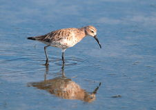 Curlew Sandpiper Stock Photo