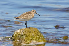 Curlew sandpiper Stock Photography