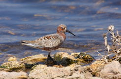 Curlew sandpiper Royalty Free Stock Photos