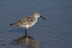 Curlew Sandpiper Stock Images