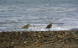 Curlew and sandpiper on beach Royalty Free Stock Photo