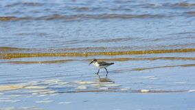Curlew Sandpiper, Calidris ferruginea, at sea shoreline searching for food, close-up portrait in tide, selective focus. Shallow DOF stock photography