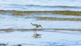 Curlew Sandpiper, Calidris ferruginea, at sea shoreline searching for food, close-up portrait in tide, selective focus. Shallow DOF royalty free stock images