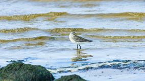Curlew Sandpiper, Calidris ferruginea, at sea shoreline searching for food, close-up portrait in tide, selective focus. Shallow DOF royalty free stock image
