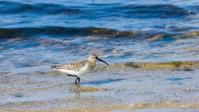 Curlew Sandpiper, Calidris ferruginea, at sea shoreline searching for food, close-up portrait in tide, selective focus. Shallow DOF stock photos