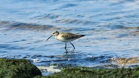 Curlew Sandpiper, Calidris ferruginea, at sea shoreline searching for food, close-up portrait in tide, selective focus. Shallow DOF royalty free stock photography