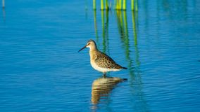 Curlew Sandpiper, Calidris ferruginea, at sea shoreline searching for food, close-up portrait in tide, selective focus. Shallow DOF stock images