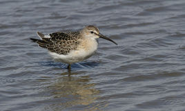 A Curlew Sandpiper Calidris ferruginea. Royalty Free Stock Images