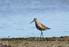 Curlew Sandpiper (Calidris ferruginea) Stock Images
