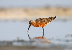 The curlew sandpiper Royalty Free Stock Image