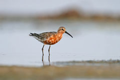 The curlew sandpiper Royalty Free Stock Photos