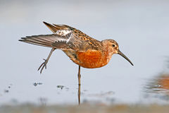 The curlew sandpiper Calidris ferrugineain breeding plumage. 
