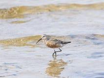 Curlew Sandpiper, Calidris feruginea, at sea shoreline searching for food, close-up portrait in tide Stock Image