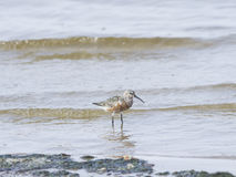Curlew Sandpiper, Calidris feruginea, at sea shoreline searching for food, close-up portrait in tide, selective focus Royalty Free Stock Photography
