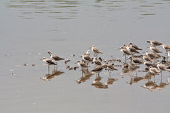 Curlew Sandpipers. A flock of birds by the water Stock Images