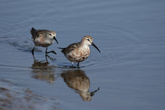 Curlew Sandpipers Royalty Free Stock Images