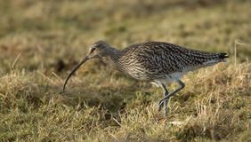 Curlew searching for food on Grassland stock photography