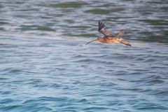 Curlew w locie Obrazy Royalty Free