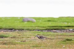 Curlew Stock Photos