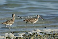 A Curlew tyring yo snatch a crab from other. Curlews are long slender down curved bills bird Royalty Free Stock Photo