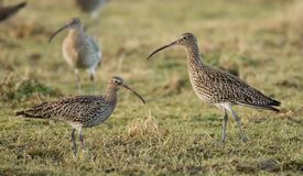 Curlew on Grassland royalty free stock photo