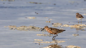 Curley Sandpiper Stock Images