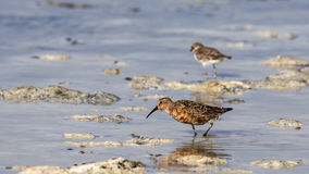 Curley Sandpiper Stock Photography