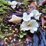 Curlicue ghostly white oyster mushrooms on deadwood stock image