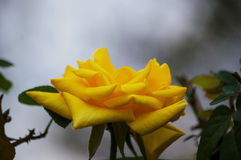 Curling petals of a yellow rose Stock Photography