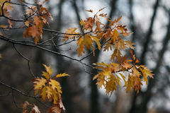 Curly autumn oak. Royalty Free Stock Photos
