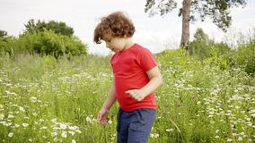 Curly boy walking on flowering field at summer day. Cute little boy walking on grass meadow at summer vacation in. Countryside stock video