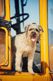 Curly brown dog jumping stands at the construction machine Stock Image