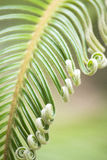 Curly buds of Japanese sago palm Stock Image