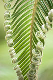 Curly buds of Japanese sago palm Royalty Free Stock Photography