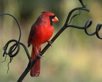Curly Cardinal Stock Images