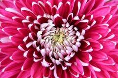 Curly Chrysanthemum Stock Photos