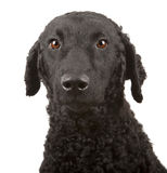 Curly Coated Retriever. A side profile of a curly coated retriever Royalty Free Stock Photo