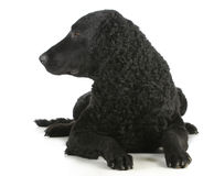Curly coated retriever Stock Photo