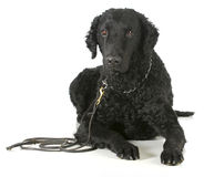 Curly coated retriever. On a leather leash and choke collar on white background royalty free stock photography